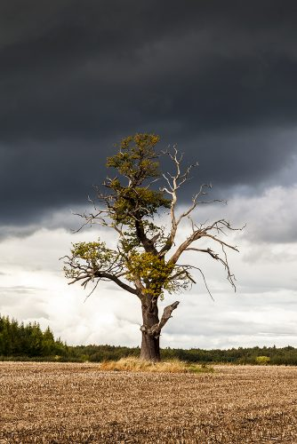 A dead tree in a field against a stormy sky